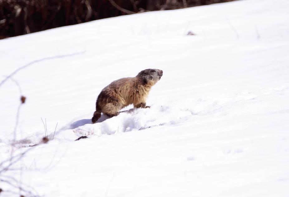 Dans les Alpes, après l'hiver, les marmottes se sont réveillées! | Le Petit  Quotidien, le seul journal d'actualité pour les enfants de 6-10 ans